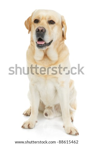 Labrador Retriever isolated on a white background - stock photo