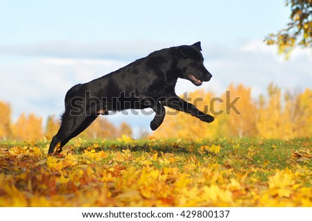 Labrador Retriever jumps and having fun in amazing Autumn - stock photo