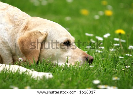 Labrador retriever lying on the grass - stock photo