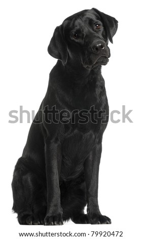 Labrador Retriever, 10 months old, sitting in front of white background - stock photo