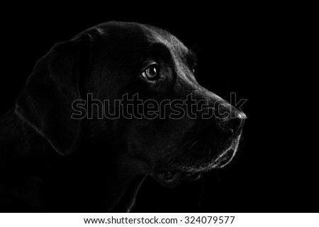 Labrador Retriever on black background - stock photo