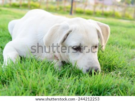 labrador retriever on green grass lawn - stock photo