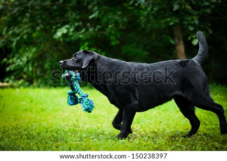 labrador retriever on nature - stock photo