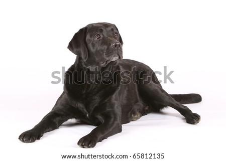 labrador retriever on white background - stock photo