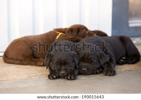 labrador retriever puppies - stock photo