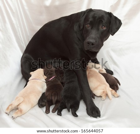 labrador retriever puppies and mom (one week old) - stock photo