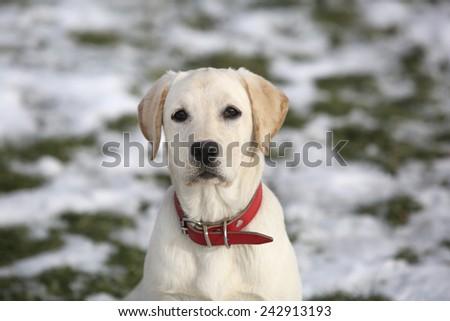 Labrador retriever puppy happy in the yard - stock photo