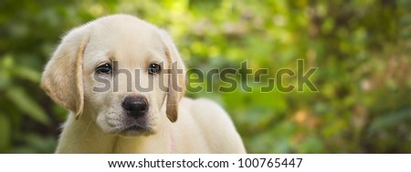 Labrador retriever puppy in the yard banner (shallow dof) - stock photo