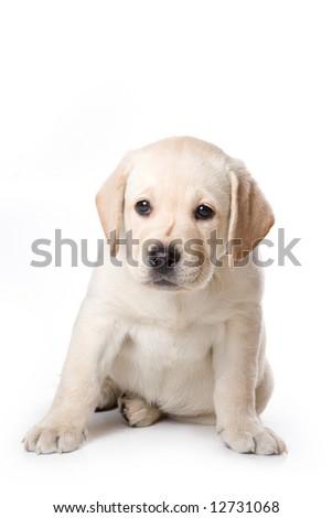 Labrador Retriever puppy on white - stock photo