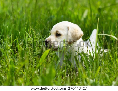 Labrador retriever puppy playing in the grass  - stock photo