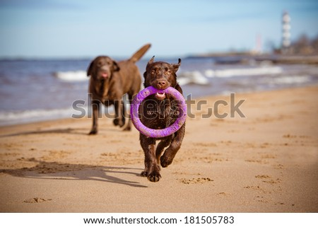 labrador retriever puppy playing on the beach - stock photo