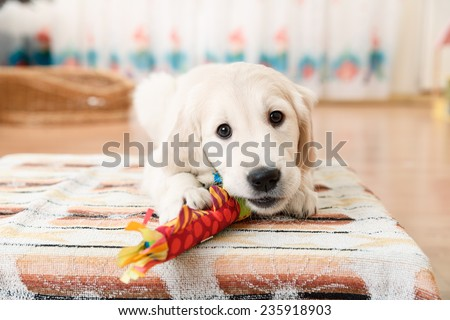 labrador retriever puppy playing with toy at room - stock photo