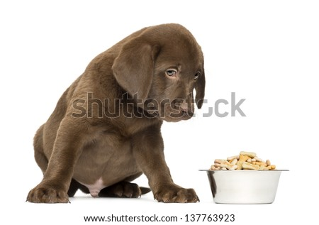 Labrador Retriever Puppy sitting with full dog bowl, 2 months old, isolated on white - stock photo