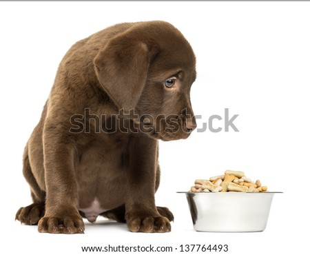 Labrador Retriever Puppy sitting with his full dog bowl, isolated on white - stock photo