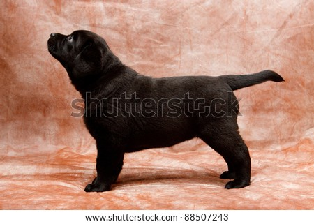 Labrador retriever puppy standing - stock photo