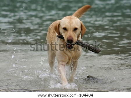 Labrador retriever retrieving the stick in its natural environment. - stock photo