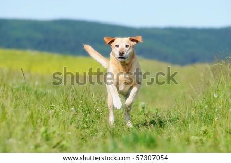 Labrador retriever running - stock photo