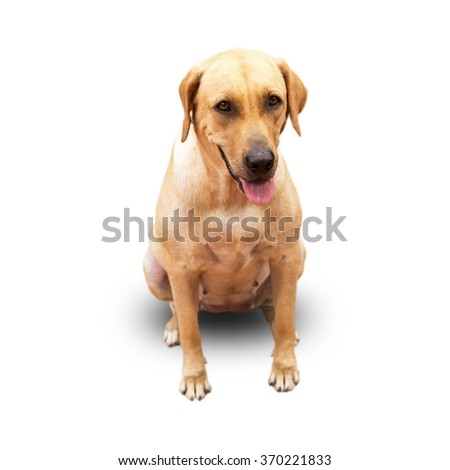 Labrador Retriever Sitting Down on a White Background - stock photo