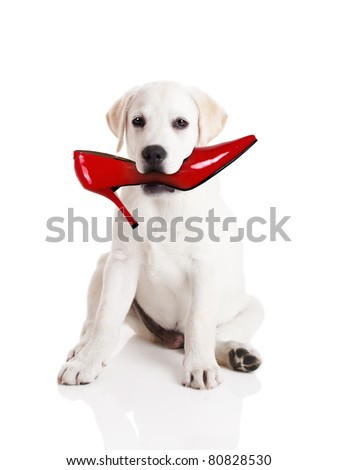 Labrador retriever with a res shoe in his mouth - stock photo