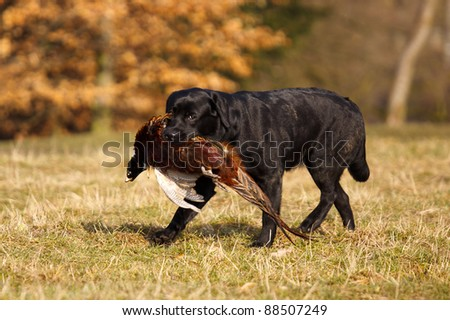 Labrador retriever with pheasant - stock photo