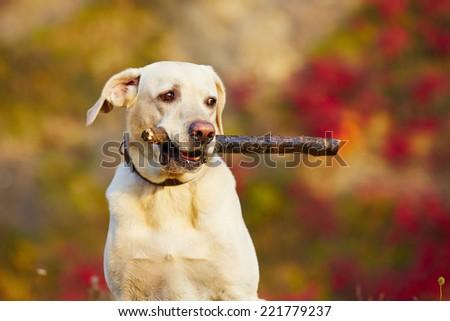 Labrador retriever with wooden stick in autumn nature - stock photo