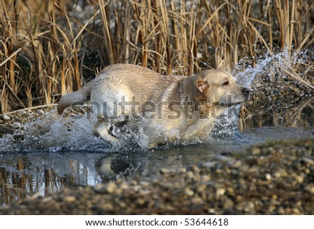 Labrador Retriever working in the field, jumping in the water - stock photo