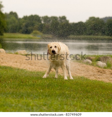 Labrador shaking off after jump into water - stock photo
