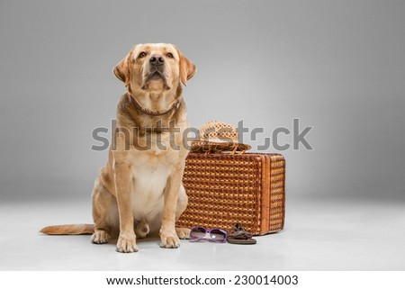 Labrador with the suitcase  on a gray background.  - stock photo