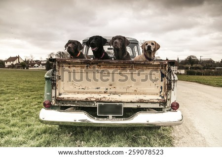 Labradors in a vintage truck - stock photo