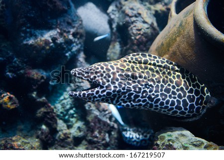 Laced moray (Gymnothorax favagineus) in the coral reef - stock photo