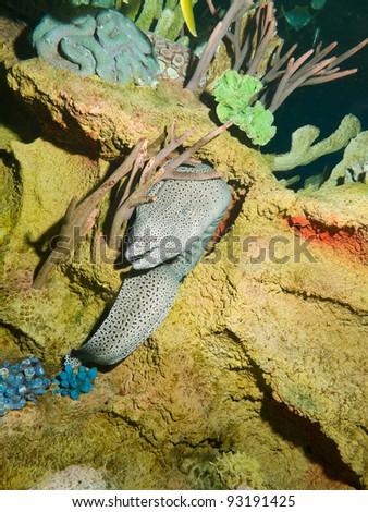 Laced moray, honeycomb moray, tesselate moray (Gymnothorax favagineus) - stock photo