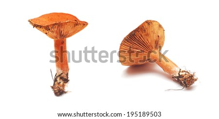 lactarius deliciosus mushroom, also known as milk-cap mushroom - stock photo