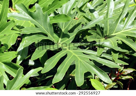 Lacy Tree Philodendron(Philodenron selloum) - stock photo