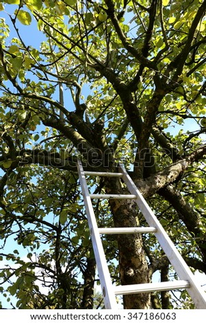 Ladder reaching up into an Apple Tree for the harvest. - stock photo