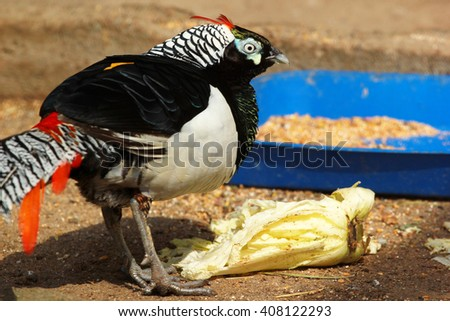 Lady Amherst's male pheasant (Chrysolophus amherstiae) in a zoo