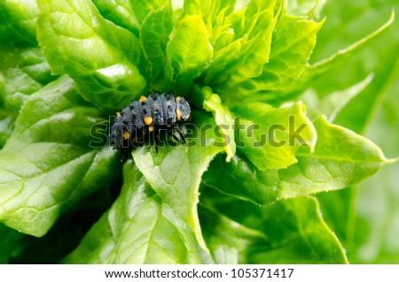 lady beetle pupa on salad - stock photo