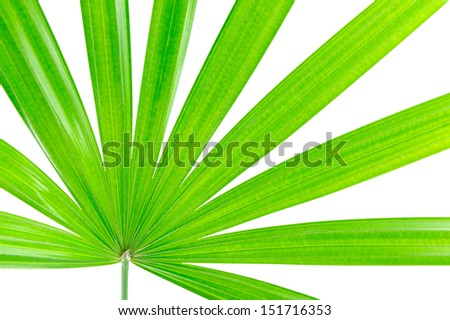 lady palm, Bamboo palm, part of Plam leaves isolated on the white background. - stock photo