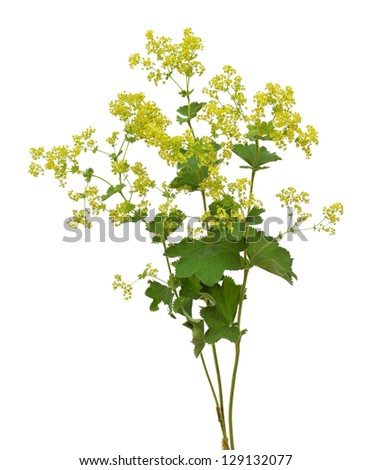 Lady's mantle - stock photo