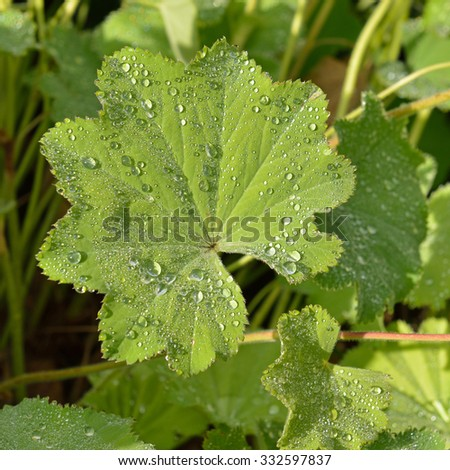 Lady's mantle (Alchemilla vulgaris) with drops of water - stock photo