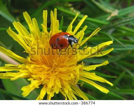 Ladybird - stock photo