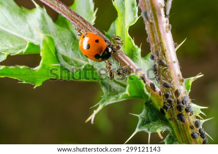 ladybird attacked by ant - stock photo