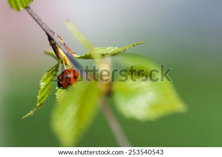ladybird crawling on a branch with a young birch leaves - stock photo