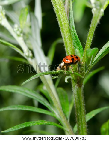 ladybird hunts aphid underneath leaf - stock photo