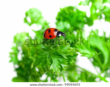 Ladybird on a parsley leafs - stock photo