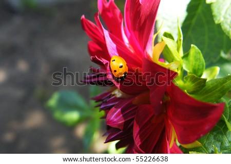 Ladybird on beautiful flower. - stock photo