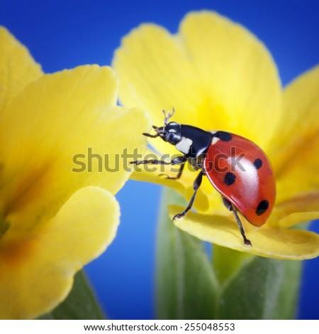 ladybird on camomile flower - stock photo