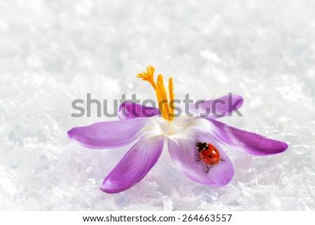 Ladybird on flower crocus - stock photo