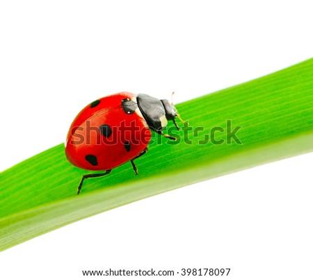 ladybird on green leaf isolated on white - stock photo
