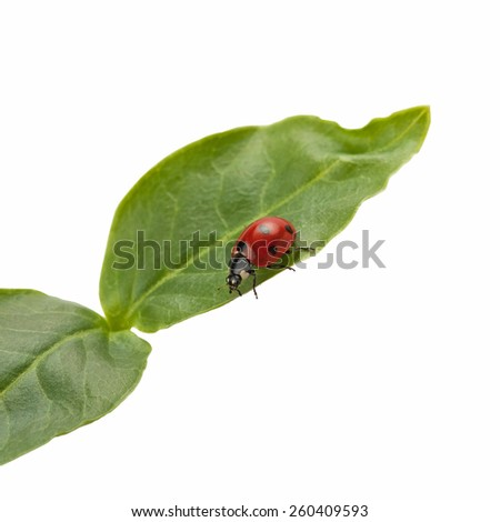 ladybird on green leaf isolated on white background - stock photo