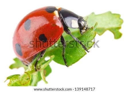 ladybird on green leaflet (macro) isolated white background - stock photo